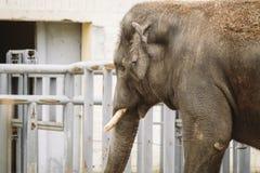Jonge actieve Afrikaanse olifant bij de dierentuin Een actieve herbivore olifant tijdens de sleurperiode, in de lente wil liefde  royalty-vrije stock afbeeldingen