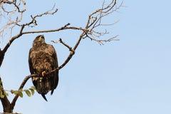 Jonge adelaar stock afbeelding