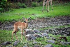 Jonge Afrikaanse Impala Royalty-vrije Stock Afbeelding
