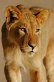 Jonge Afrikaanse leeuw royalty-vrije stock fotografie