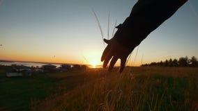 Jonge Afrikaanse mens die op het gebied wat betreft de aren bij mooie zonsondergang lopen stock video