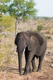 Jonge Afrikaanse Olifant Royalty-vrije Stock Fotografie