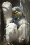 Jonge aigrettes in een nest bij een roekenkolonie in Florida Royalty-vrije Stock Afbeelding
