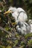 Jonge aigrettes in een nest bij een roekenkolonie in Florida Stock Afbeelding