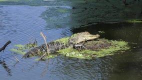 Jonge alligator die in het moeras van Florida zonnen stock videobeelden