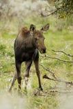 Jonge Amerikaanse elanden stock fotografie
