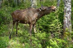 Jonge Amerikaanse elanden (Alces alces) Stock Foto