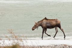Jonge Amerikaanse elanden die in ondiep water van bevroren meer waden stock afbeelding