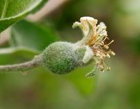 Jonge appel Royalty-vrije Stock Afbeelding