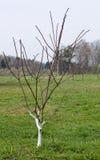 Jonge appelboom Royalty-vrije Stock Afbeelding
