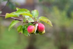 Jonge appelen op een tak royalty-vrije stock afbeelding