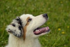 Jonge Australische herdershond aussie Vrolijke druktepuppy Opleiding van honden Hondonderwijs, cynology, intensieve opleiding van royalty-vrije stock fotografie