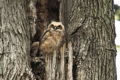 Jonge Baby Groot Gehoornd Owl In An Old Tree Stock Foto's