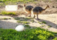 Jonge baby twee ostrichs op het landbouwbedrijf met groot ei op het groene gras royalty-vrije stock foto