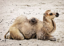 Jonge Bactrische kameel - Camelus-bactrianus Stock Foto's
