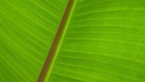 Jonge banaanbladeren vector illustratie