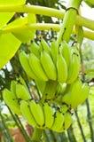 Jonge bananen. Stock Afbeeldingen