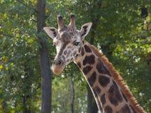Jonge Baringo-giraf Stock Afbeelding