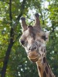 Jonge Baringo-giraf Royalty-vrije Stock Fotografie