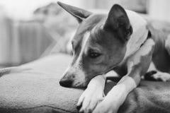 Jonge Basenji-hondslaap royalty-vrije stock afbeelding