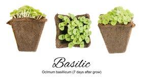 Jonge Basil Sprouts of Zaailingen in Geïsoleerde Turfcontainer Royalty-vrije Stock Foto