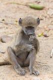 Jonge baviaan stock foto's
