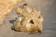 Jonge bavianen die in een weg spelen recente middag alvorens terug te gaan Stock Foto