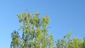 Jonge berk tegen de blauwe hemel in de lente stock footage