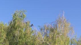 Jonge berk tegen de blauwe hemel in de lente stock videobeelden