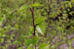 Jonge berkbladeren die in de tuin groeien Stock Afbeeldingen