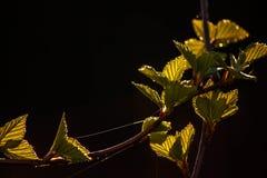 Jonge berkbladeren met de zon die op zwarte achtergrond plaatsen Royalty-vrije Stock Afbeelding