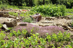 Jonge bieten, selderie en thyme in de tuin van het land stock foto's