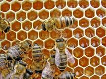 Jonge bijen. Royalty-vrije Stock Foto's