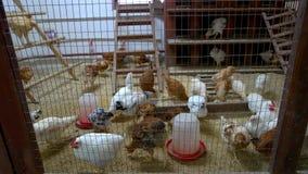 Jonge binnenlandse kippen in kippenhuis stock footage