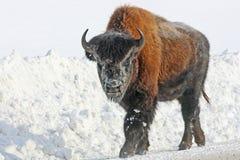 Jonge bizon op de weg Royalty-vrije Stock Afbeelding