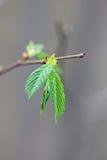 Jonge bladeren in de herfst Royalty-vrije Stock Afbeeldingen