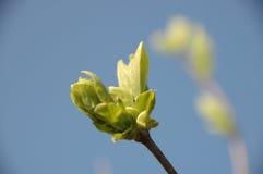 Jonge bladeren in de lente Royalty-vrije Stock Fotografie
