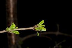 Jonge bladeren in de lente Stock Foto