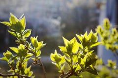 Jonge bladeren in de lente Stock Fotografie