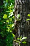 Jonge bladeren op een boomstam Royalty-vrije Stock Foto's