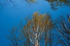 Jonge bladeren van berkbomen Stock Foto