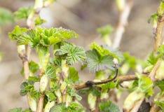 Jonge bladeren van bessen Royalty-vrije Stock Fotografie