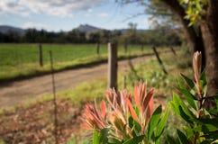 Jonge bladeren van de Australische bottlebrushstruik royalty-vrije stock afbeeldingen
