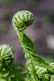Jonge bladeren van de varen in de vroege lente Stock Afbeelding