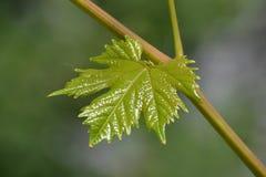 Jonge bladeren van druiven op de wijnstok Stock Foto