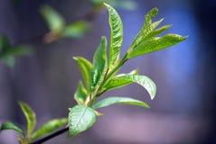Jonge bladeren van een boom Royalty-vrije Stock Foto