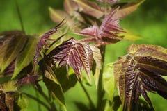 Jonge bladeren van een okkernoot, Juglans regia Stock Foto's
