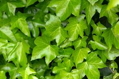 Jonge bladeren van gemeenschappelijke Ivy Hedera-schroef in de lente Aardconcept voor ontwerp royalty-vrije stock afbeeldingen