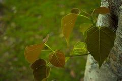 Jonge bladeren van Heilige vijgeboomsoort Ficus stock foto