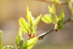 Jonge bladeren van kers-vogel boom in de lenteochtend Stock Afbeelding
